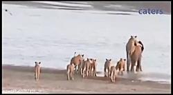 حمله ناموفق گله شیرها به یک فیل جوان