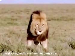 مستند حیوانات جنگل آفریقا  ((شکار شیرها))