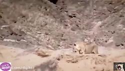 حیات وحش، از زنده خواری کفتارها تا شکار شیر و پلنگ