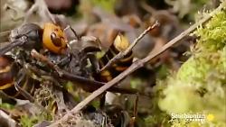 زنبور ها به کندوها و کلنی های یکدیگر برای به دست آوردن غذا حمله می کنند