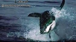 یک کلیپ جذاب از شکار فوک توسط نهنگ