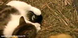 گربه ای که برای جوجه های اردک مادری میکنه؟؟!!!️