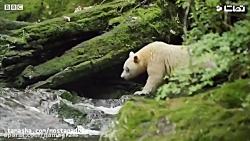 تصاویری از کمیاب ترین نژاد خرس دنیا