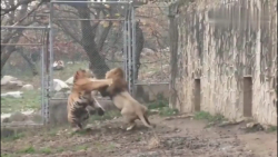 نبرد شیر و ببر | ببر مقابل شیر