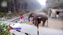 ذکاوت عجیب فیل حین عبور از گیت خط راه آهن
