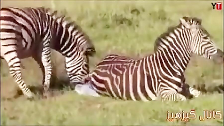کلیپی از حیات وحش با میلیون ها بازدید
