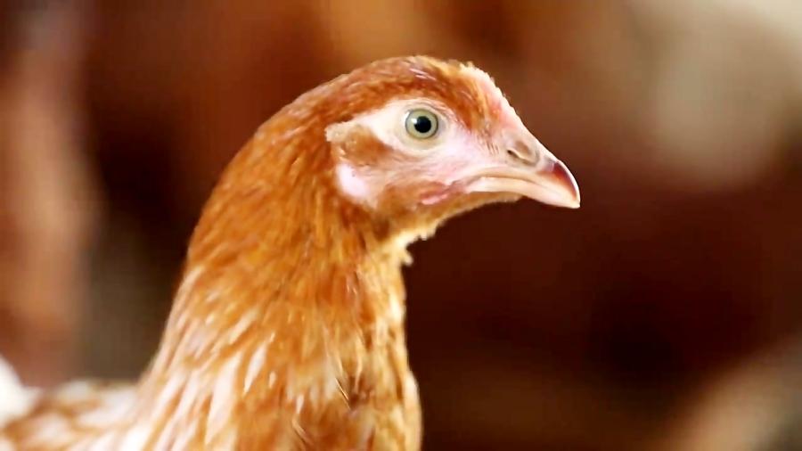 پرورش مرغ بومی وتولیدتخم مرغ درقفس