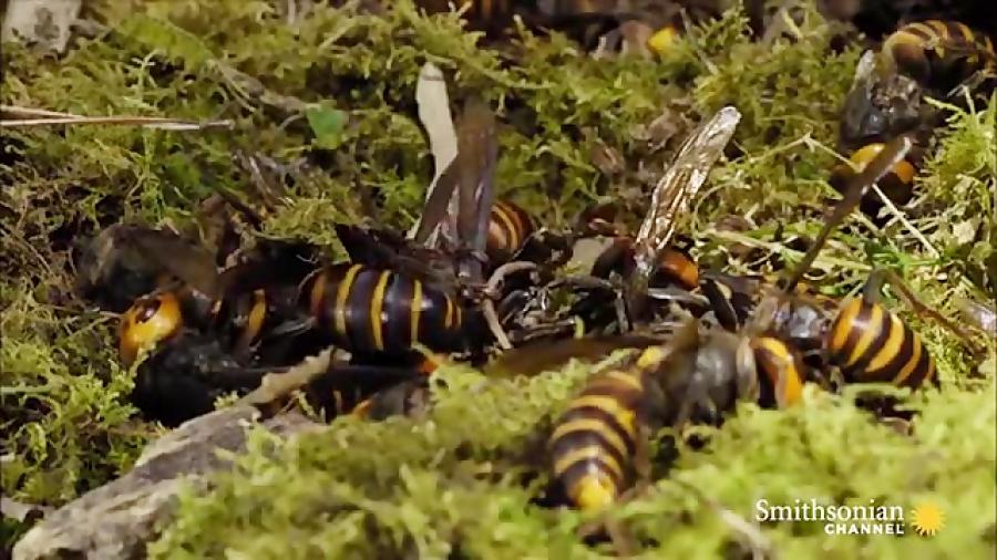 نبرد زنبورها