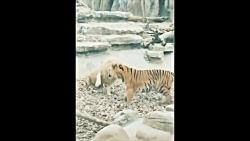 نبرد شیر و ببر