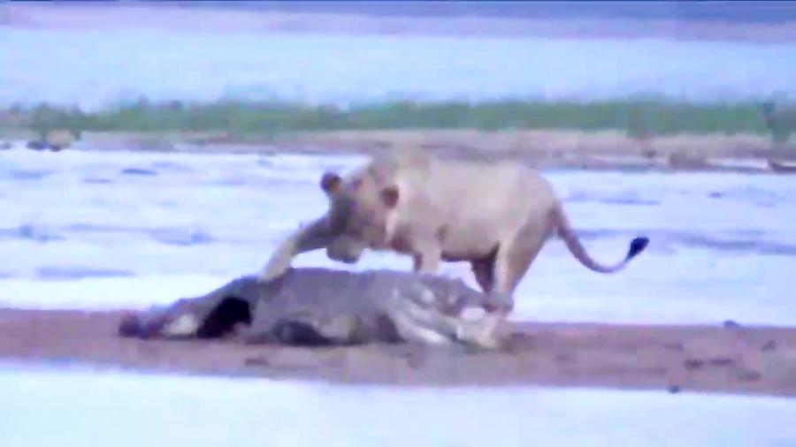 شکار تمساح توسط شیرها