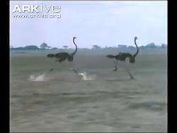 شترمرغ در طبیعت