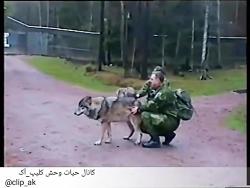 حمله گرگ های به انسان و رفتار انسان به حمله
