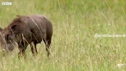 مستند شکار گراز توسط شیر ماده