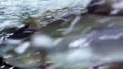 کلیپی از شکار ماهی توسط خرس های گریزلی