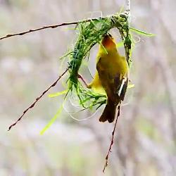 ساخت لانه زیبا توسط این پرنده جالبو ببینید.