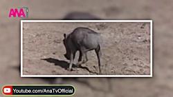 درخت مست کننده حیوانات در آفریقا!