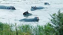 حمله اسب های آبی به کروکودیل در حال شکار