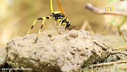 مستند حیات وحش ایران - زنبور ببری