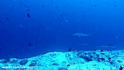 غواصی در مالدیو - کانال کوکا کرنر همراه با کوسه ها 2