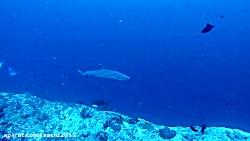 غواصی در مالدیو - کانال کوکا کرنر همراه با کوسه ها 3