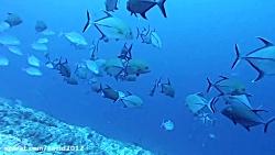 غواصی در مالدیو - کانال کوکا کرنر همراه با کوسه ها 4