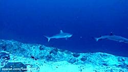 غواصی در مالدیو - کانال کوکا کرنر همراه با کوسه های گری ریف