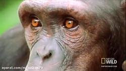 مستند شامپانزه قاتل و دوست داشتنی
