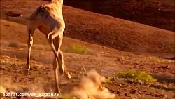 مستند ده مبارزه مرگبار حیوانات بسیار دیدنی