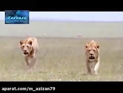مستند حیات وحش: حملات سریع حیوانات مرگبار