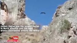 مستند حملات و شکارهای عقاب وحشی - بسیار زیباست حتما ببینید