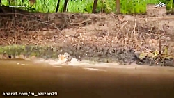 مستند جگواری که در شکار تمساح مهارت خاصی دارد
