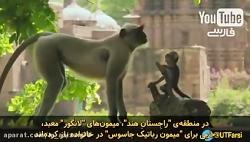 مستند عکس العمل فوق العاده عجیب میمونها نسبت به میمون عروسک