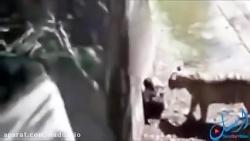 شکار و خوردن مرد نگون بخت توسط ببر باغ وحش