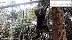 پروژه توانبخشی گیبون پوکت | Gibbon Rehabilitation Project