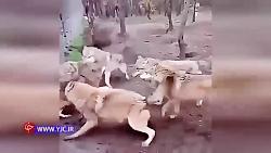 تکه و پاره کردن یک سگ توسط سایر سگها - سگ مقابل سگ
