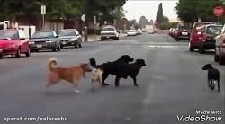 Top 5 dog fight video's سگ ها با کیفیت سوپر فول اچ دی SUPER FULL HD