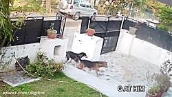 حمله وحشتناک 3 سگ بزرگ به سگ کوچک خانگی