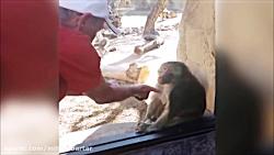 واکنش میمون ها به شعبده بازی