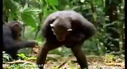 زندگی جالب شامپانزه های باهوش