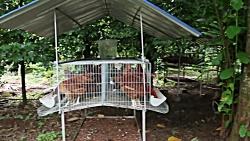 پرورش مرغ تخمگذار درقفس