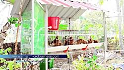 پرورش مرغ رنگی تخمگذار درقفس
