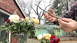 آموزش باغبانى با صابر ، چگونه باید از دسته گل رز كه هدیه گرفته اید