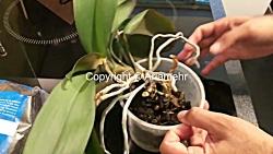 آموزش پرورش و نگهداری از گیاه ارکیده قسمت دوم