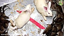 شکنجه موش | تله موش وحشتناک و عجیب با طعمه قرار دادن دو خرگوش سفید SUPER FULL HD