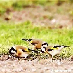 آواز خواندن بسیار زیبای سهره ها در طبیعت ( مناسب برای آموزش سهره)