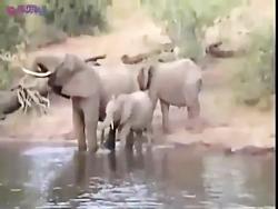 """حمله کروکودیل به فیل"""""""