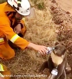 کمک به کوالا تشنه در استرالیا