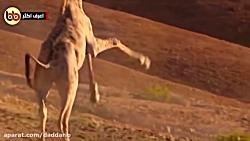 10 نبرد شدید و وحشیانه حیوانات