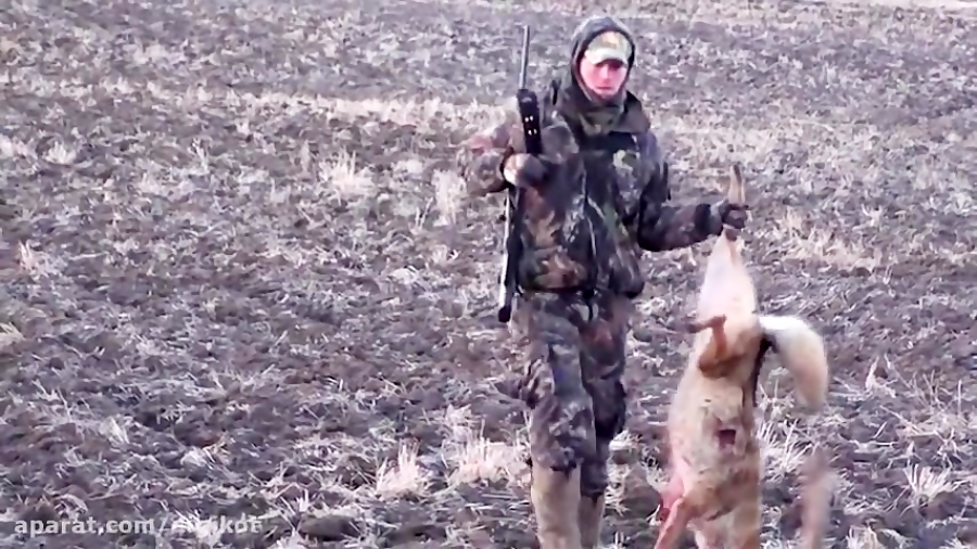 شکار دردناک گرگ ها توسط تک تیراندازهای نظامی
