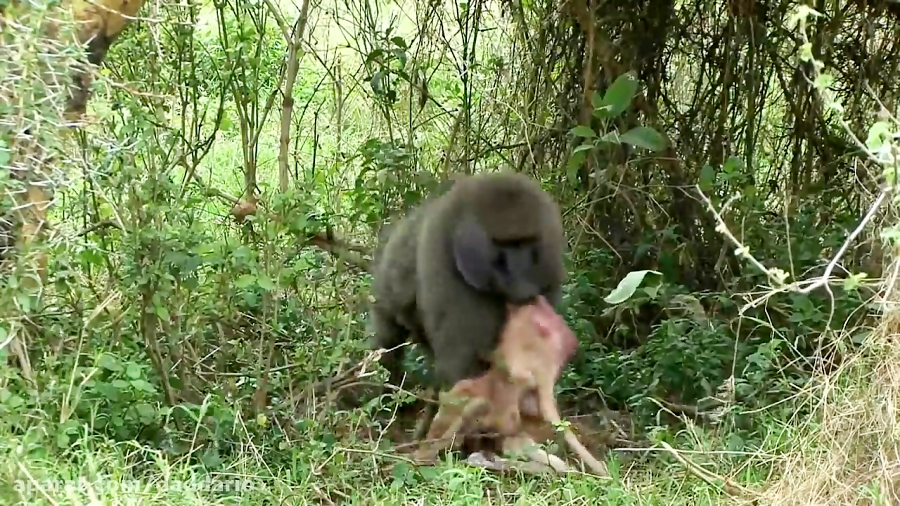 شکار وحشیانه بچه ایمپالا توسط میمون بابون